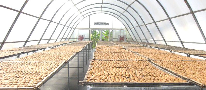 Séchage des bananes KoueyNamWa sous atmosphère controlée.